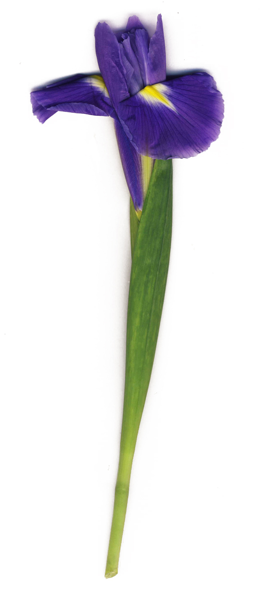 scan of real iris flower