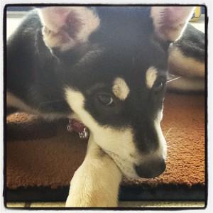 Zoey puppy, 2012