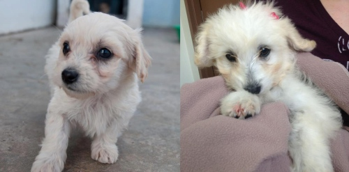 Before/After: Cute face white puppy (Currently in a loving foster home)