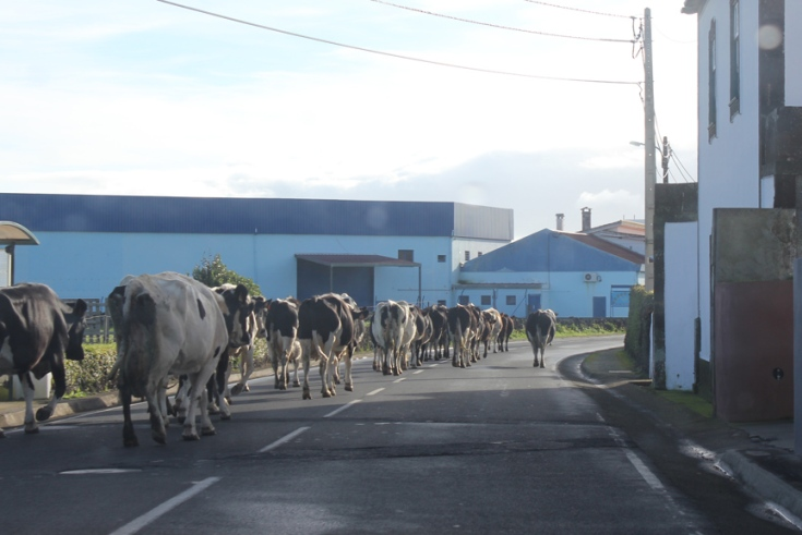 Cows on the road.