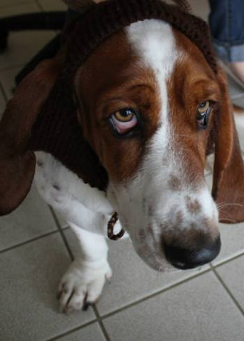 A basset hound reindeer? Yes, that might be the cutest thing ever.