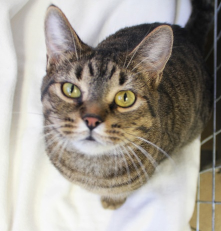 no. 3: Cake {This is Cake.  She is a sweet, sweet tabby girl, that has been with the shelter for months.  With so many other cats, she often gets overlooked.  She is currently still waiting for her forever home.}