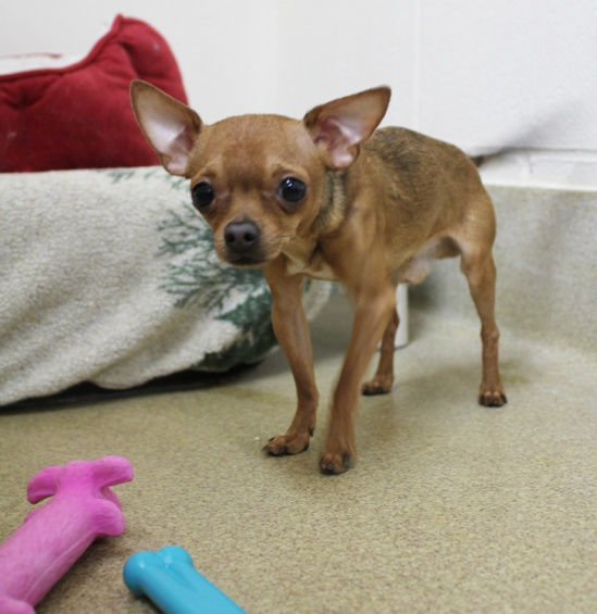 no. 5: Chi Chi {At 2.5 lbs. this little man is the smallest adult dog I have seen at the shelter.  He is nervous, like many chihuahuas, but he is so adorable, I can't even handle it.  He is available for adoption and looking for a safe, patient, loving forever home.}